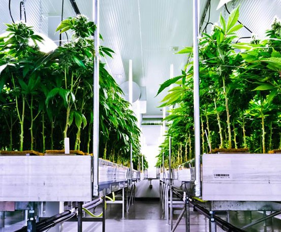 Perpetual Cannabis Harvest Cannabusinessplans Com